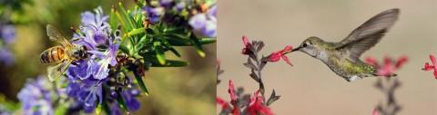 bee-rosemary hummingbird-salvia